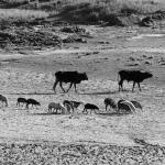 agazzi-livestock