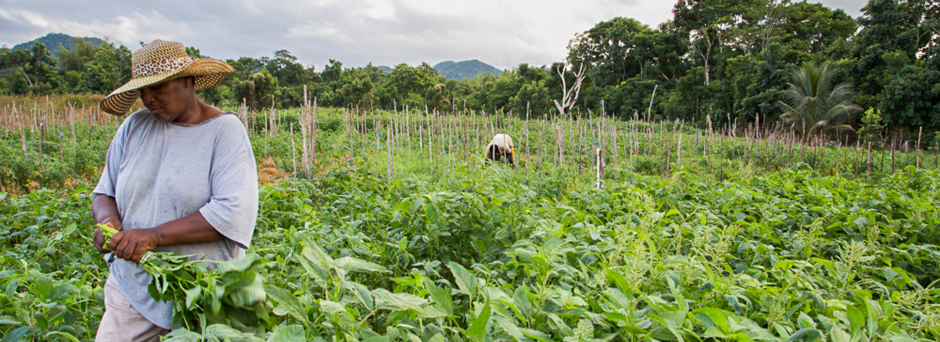 Harvesting calaloo in Mafoota, a farming community near Montego Bay, Jamaica. Photo: Francesco Fiondella