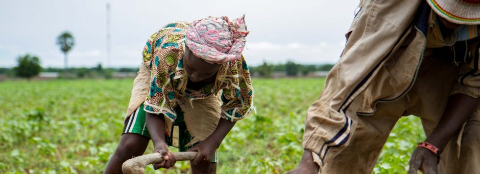 Farmers from southern Mali's Sikasso region tend to their cowpea crop.