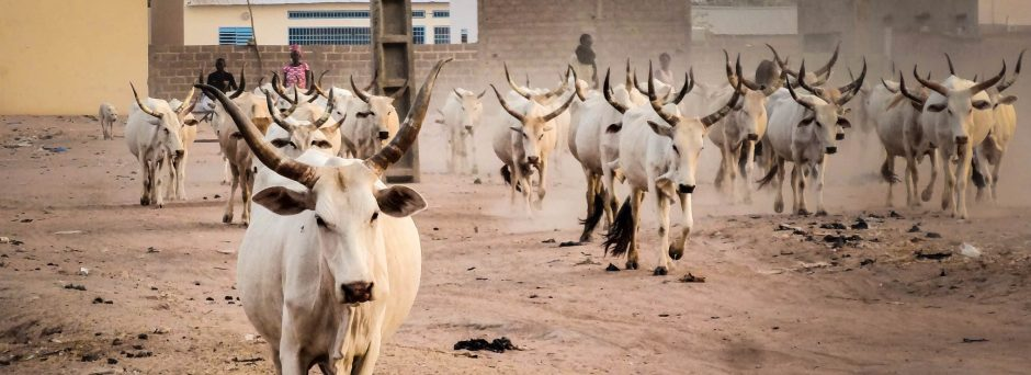 A herd of white cattle with tall horns walk towards the camera. There is a walled village and two Senegalese herders in the distant background.