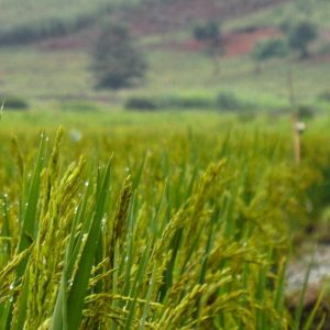 A figure, seen from only the shoulders down, in the background walks along the edge of a rice paddy. The rice grains are in focus in the foreground.